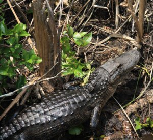 Alligator spotting in the Everglades