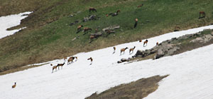 Elk cooling off on snow field