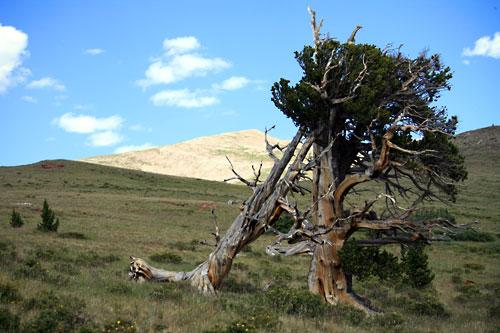 Bristlecone Pine with Silverheels summit in background
