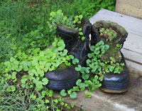 Old boots used as a planter