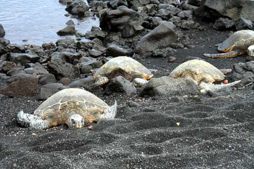 Many sleeping turtles at Punaluu Beach Park