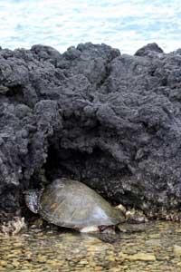 Greenback Turtle resting in rocks