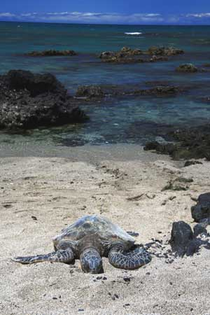Greenback Turtle sunbathing