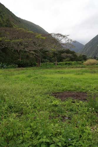 Taro Field in Waipi'o Valley
