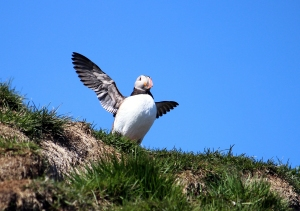 Puffin Giving His Wings a Stretch
